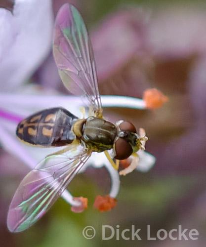 Still another fly... - Toxomerus marginatus