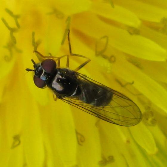 Syrphidae 01a - Platycheirus - female
