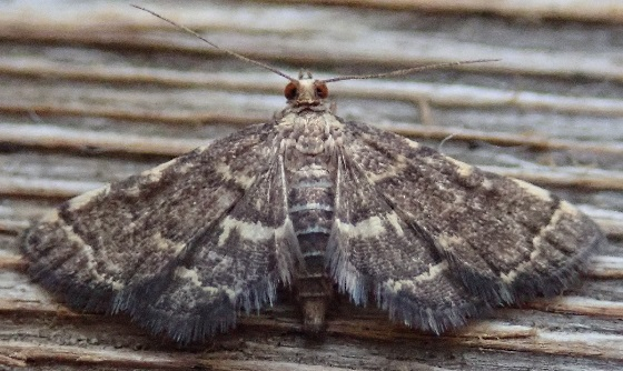 Anageshna primordialis (Yellow-Spotted Webworm) - Anageshna primordialis