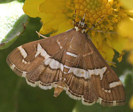 Moth -? - Spoladea recurvalis