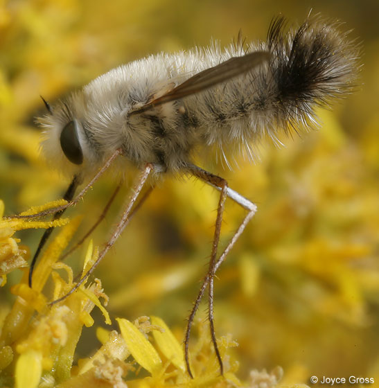 gray bee fly - Anastoechus melanohalteralis