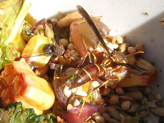 Paper Wasp - Polistes arizonensis - female