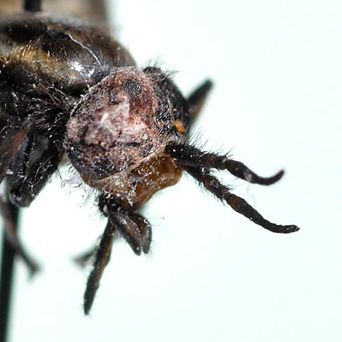 Chrysops male face 1b - Chrysops - male