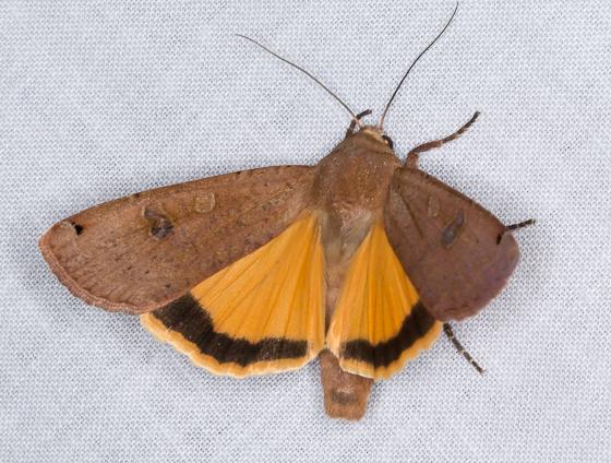 Bioblitz Moth #19 - Noctua pronuba