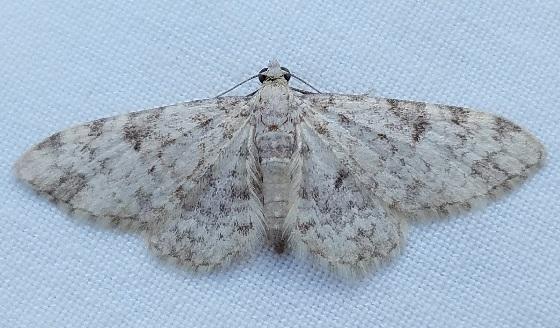 Larentiinae? - Eupithecia