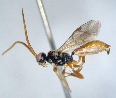 Ichneumonid 11 - Endasys - male