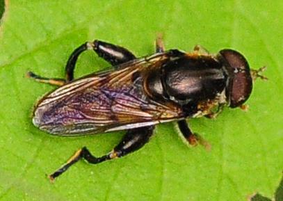 Syrphid Flies Tropidia quadrata Male - Tropidia quadrata - male