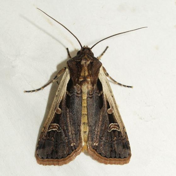western bean cutworm moth striacosta albicosta