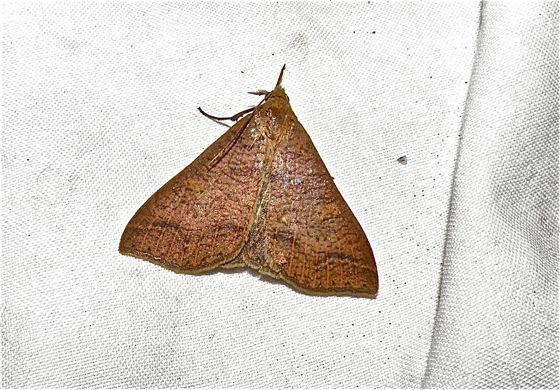 Moth - Renia new-species