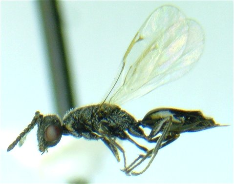 Parasitoid - female