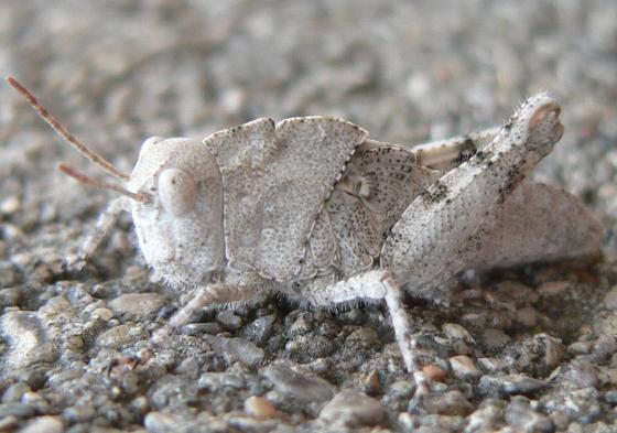 Carolina Grasshopper Nymph - Dissosteira carolina