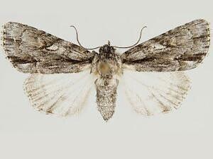 Acronicta valliscola - Hodges #9239 - Acronicta valliscola - female