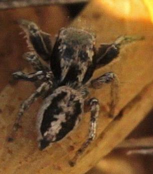 Jumping Spider - Habronattus mexicanus - male