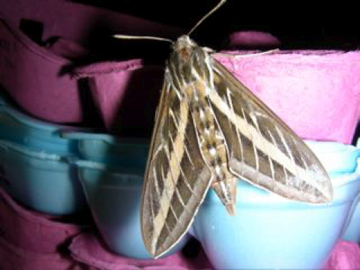 White-lined Sphinx Moth - Hyles lineata