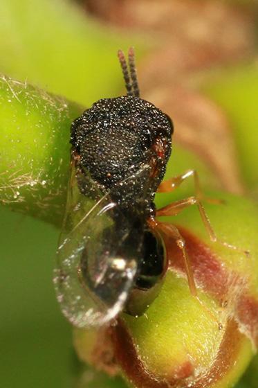 small wasp - Pseudochalcura gibbosa - female