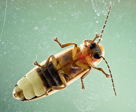 lightning bug - Photinus