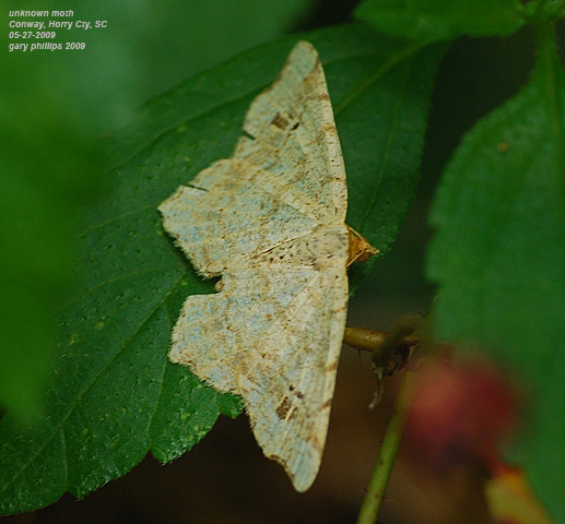 unknown moth - Macaria
