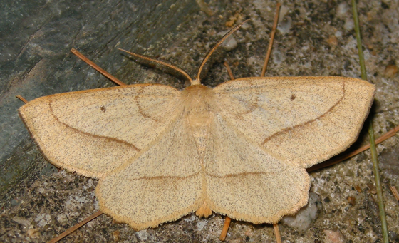 least-marked euchlaena (Euchlaena irraria) - Euchlaena irraria - male