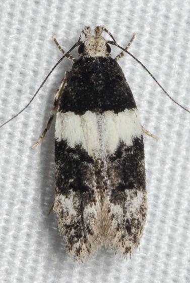 20150622-DSC_1106 - Pubitelphusa latifasciella