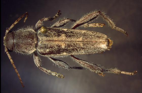 Cerambycidae, dorsal - Xylotrechus sagittatus