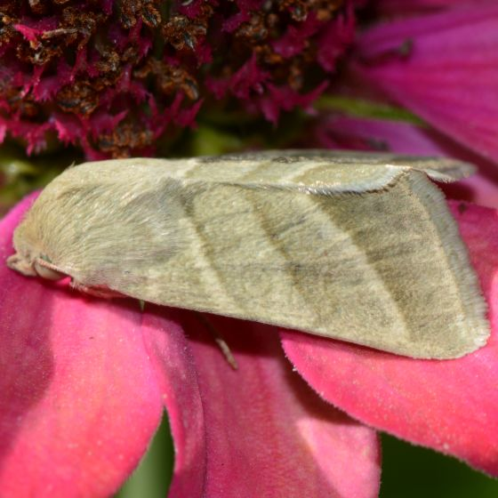 Tobacco Budworm Moth for August - Chloridea virescens