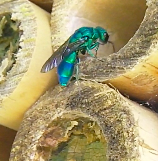 Bamboo solitary bee nests visitor - Chrysis