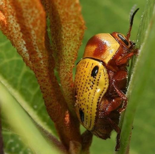 Leaf Beetle - Cryptocephalus aulicus