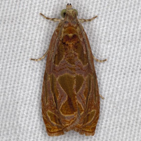 Moth IMG_2692 - Olethreutes nitidana