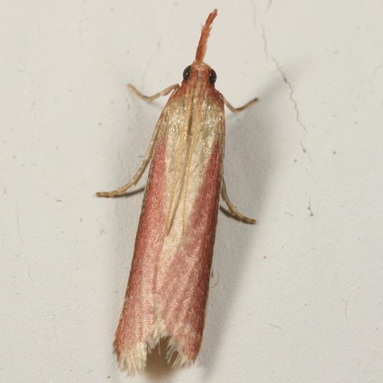 Pinkish pyraloid - Peoria approximella