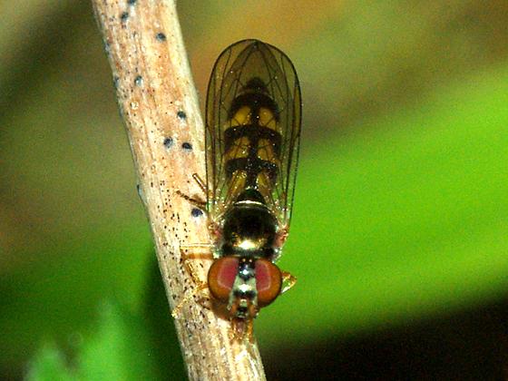Syrphid Fly - Melanostoma mellinum