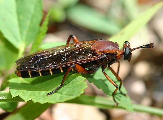 Mydas Fly - Mydas maculiventris - female