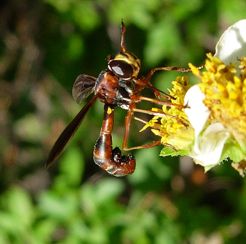 Here is another Conopid - Physocephala sagittaria - female