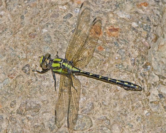 teneral Boreal Snaketail - Ophiogomphus colubrinus - male