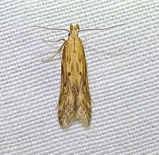 Unknown Moth - Metzneria lappella