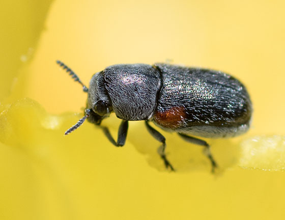 tiny beetle - Coleothorpa axillaris