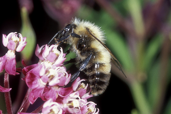 Blonde Bee - Bombus perplexus - male