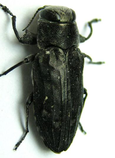 Chrysobothris - Chrysobothris edwardsii