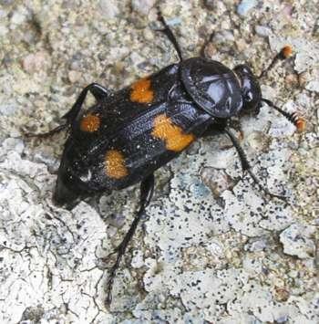 black bug with orange markings and orange tipped antennae nicrophorus orbicollis bugguide net. Black Bedroom Furniture Sets. Home Design Ideas