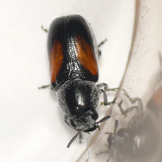 Leaf beetle in Arizona 10.07.03 - Coleorozena