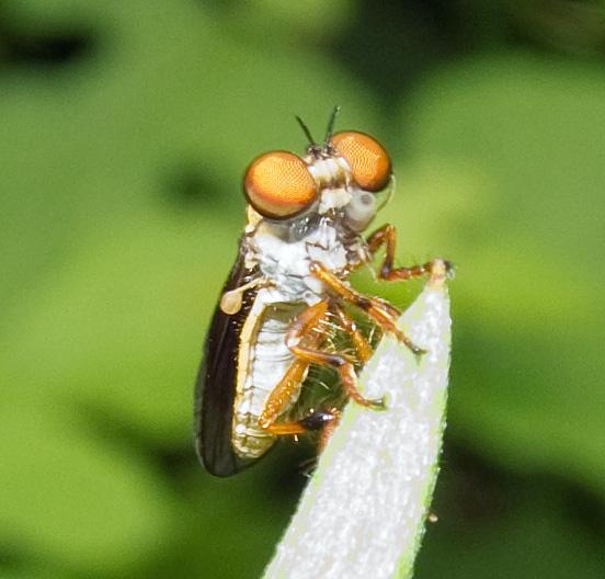 Robber Fly - Holocephala sp. - Holcocephala abdominalis