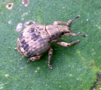 Beetle ID Request - Pseudocneorhinus bifasciatus
