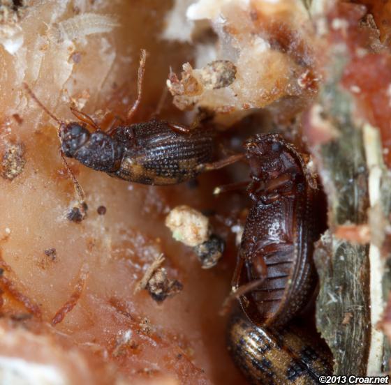 Derodontus esotericus