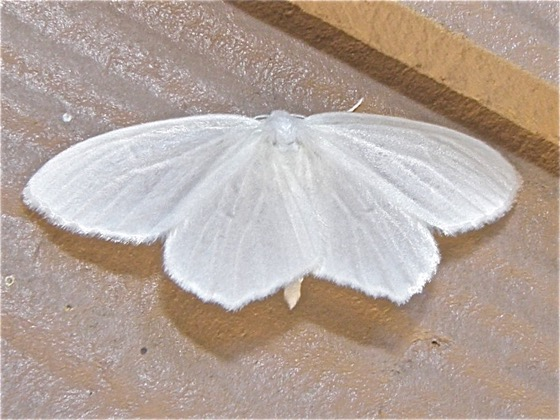 Snowy Geometer - Eugonobapta nivosaria
