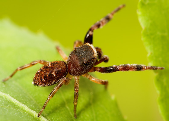 Jumping spider - Ghelna canadensis - male