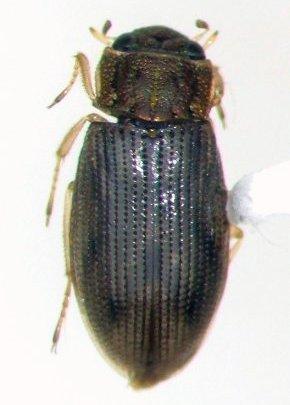 Helophorus linearis - male