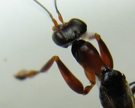 Dryinid - Dryinus alatus