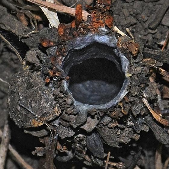 Folding-door Spider turret & Folding-door Spider turret - BugGuide.Net Pezcame.Com