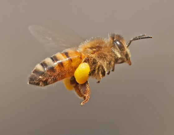 Honey bee? - Apis mellifera