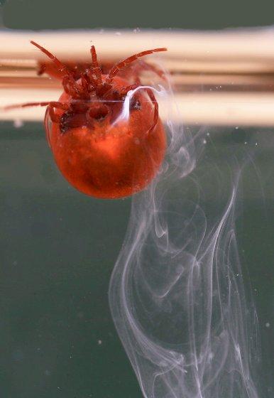 Water mite - Hydrachna
