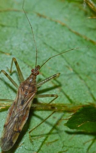 Heteroptera - Lasiomerus annulatus